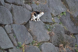 Calico On The Stone Wall