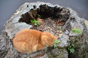 Cat, Ai-chan's Brother, on a Tree Stump