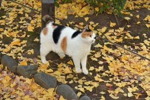 Tokyo Park Cat and Golden Ginkgo Leaves