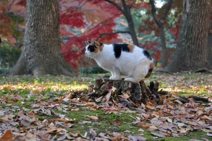 Tokyo Park Cat and Red Maple Trees