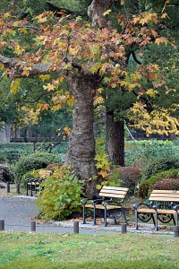Bench under a Platanus Tree