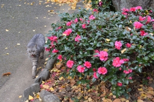 Tokyo Outdoor Cat and Camellia Sasanqua