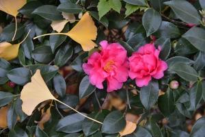 Ginkgo Leaves and Camellia Sasanqua