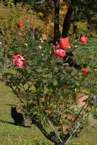 Park Cat and December Roses
