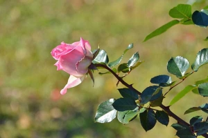Pink Rose, December