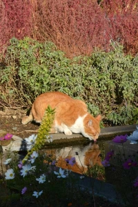 Park Cat Drinking Pond Water