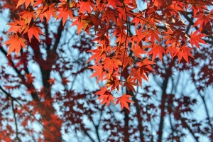 Red Momiji Maple Leaves