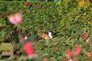 Cats Sunbathing In Rose Garden