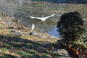 Tokyo Park Cat Looking at Egrets