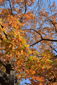Flaming Konara Oak Tree