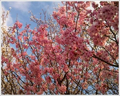 桜とさくら5