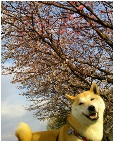 桜とさくら3