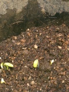 ひまわり係5芽がでた