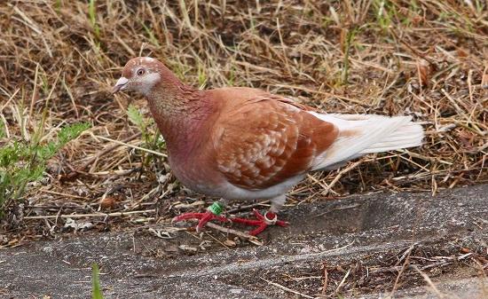 カワラバト2012.5.18-1-80芥川、堤町IMG_2415