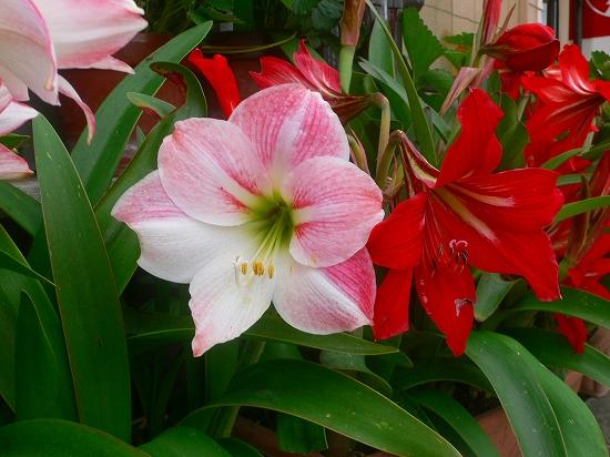 アマリリス2012.5.21-4プランター菜園P1040789