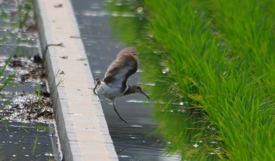 タマシギ2012.6.30-19-100茨木市、目垣IMG_5900