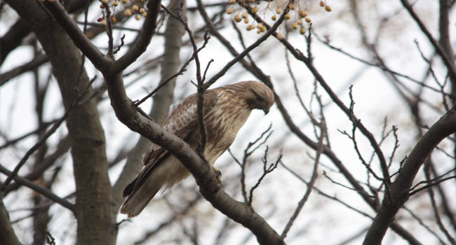 ノスリ2012-12-21-4淀川-唐崎IMG_2056
