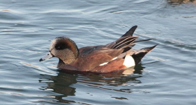 アメリカヒドリ2012-12-27-1-80枚方水辺公園IMG_7992