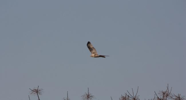 ノスリ2013-3-15-2淀川-唐崎IMG_7941