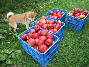 コンりんご 箱