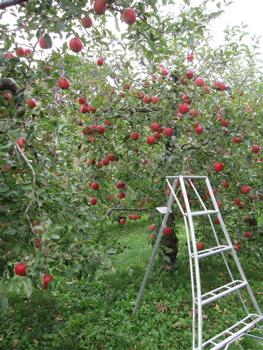 りんご 脚立