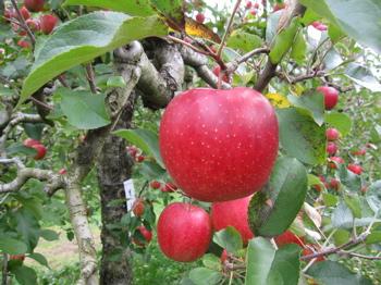りんごアップ