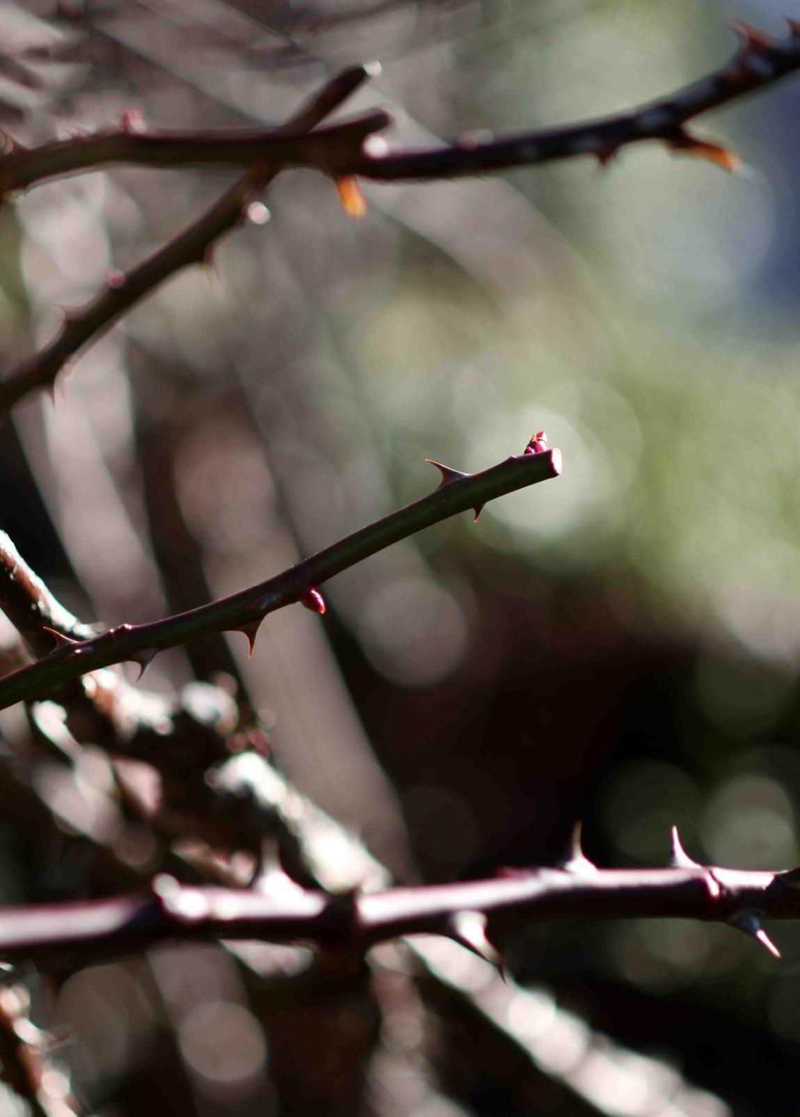 冬日のバラ模様(4)