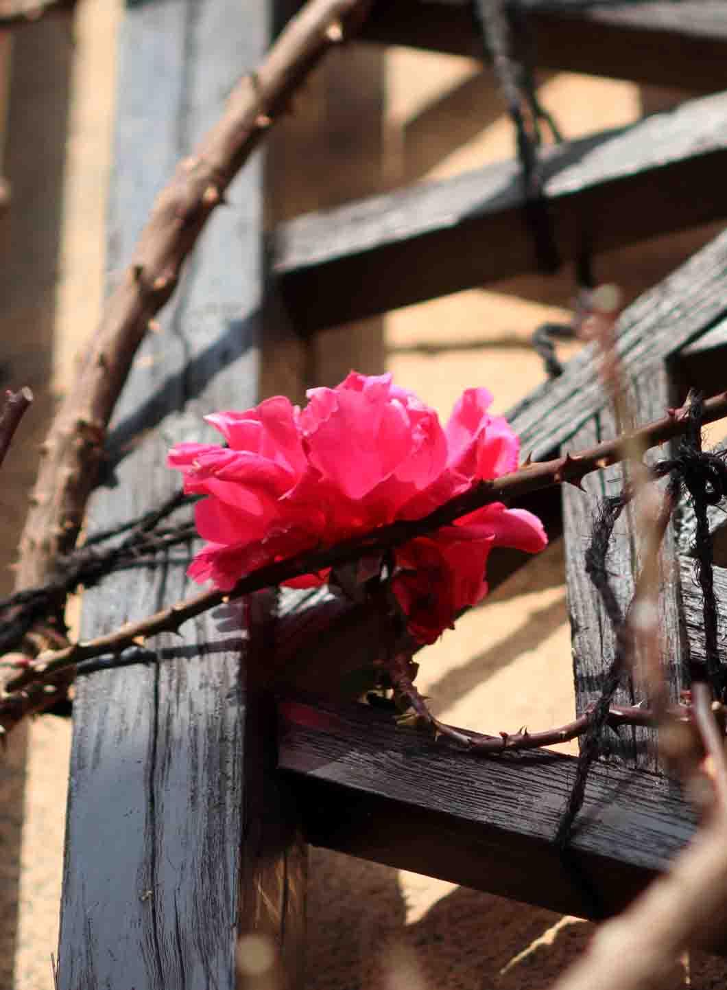 冬日のバラ模様(17)