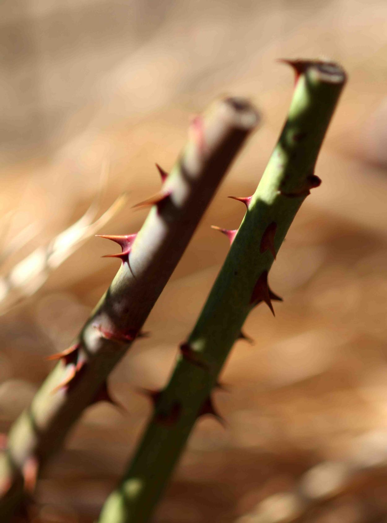冬日のバラ模様(20)