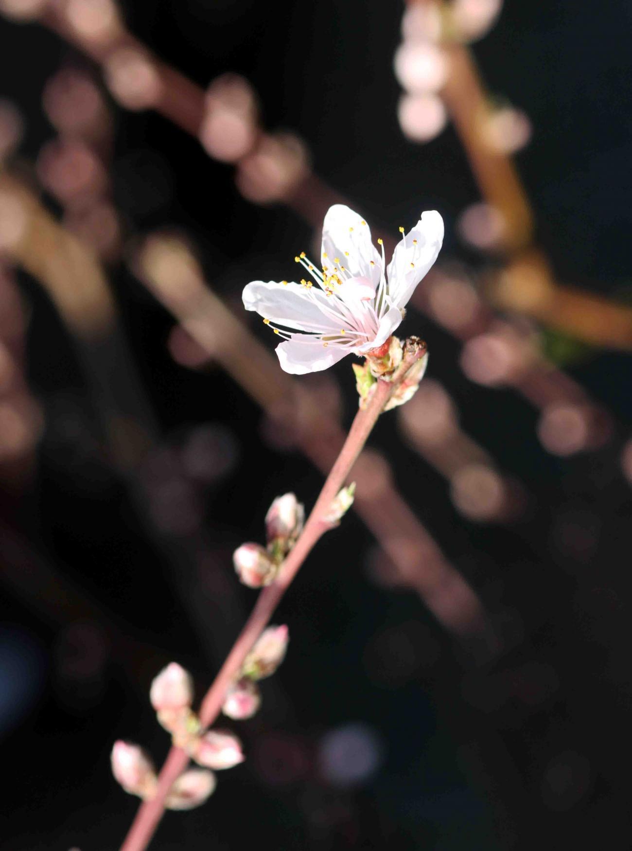 モモの花(3) 20130316