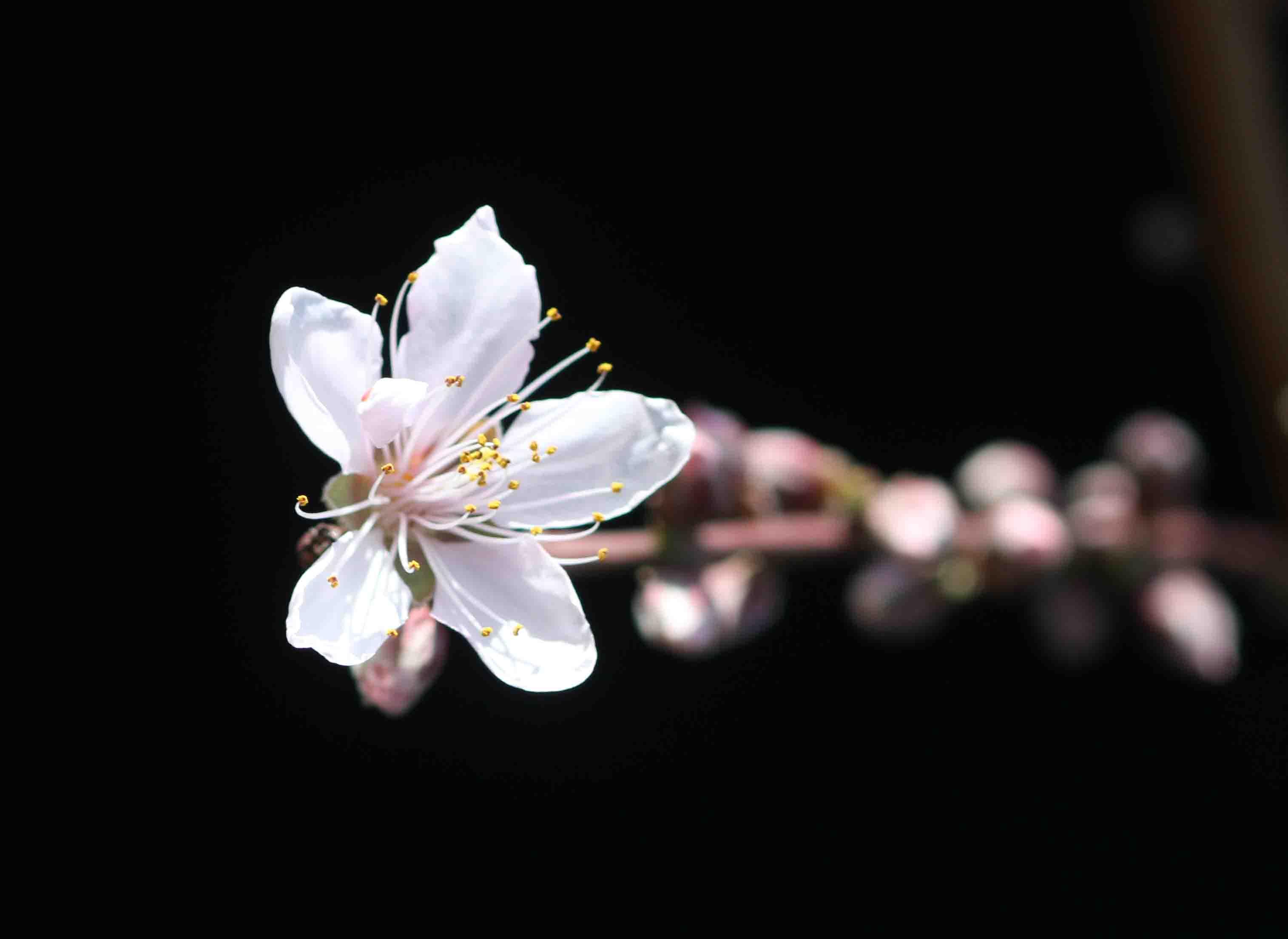 モモの花(4) 20130316