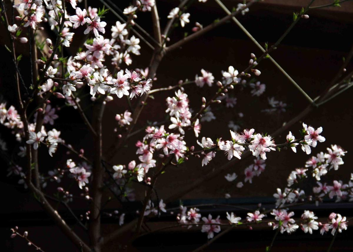 3月20日の桃(1)