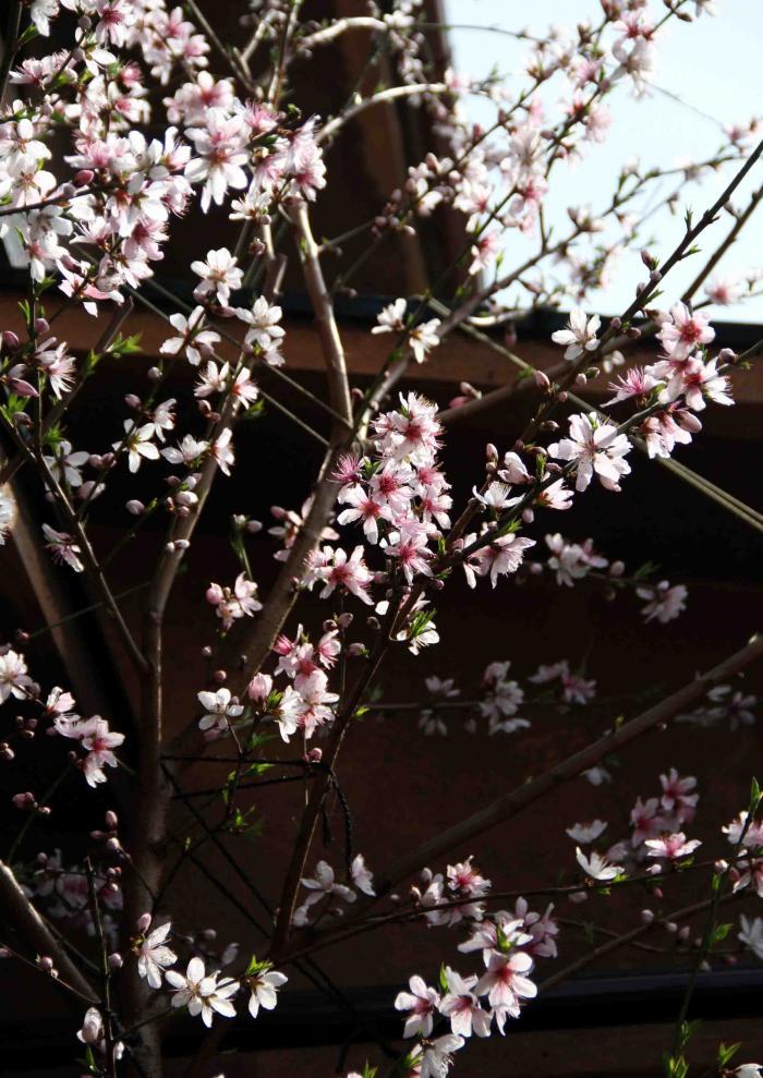 3月20日の桃(2)