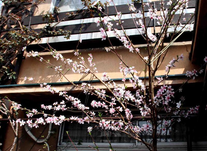3月20日の桃(3)