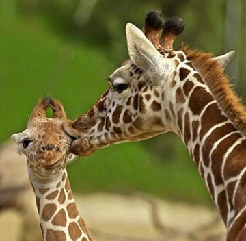 Two-Giraffes-Kissing.jpg