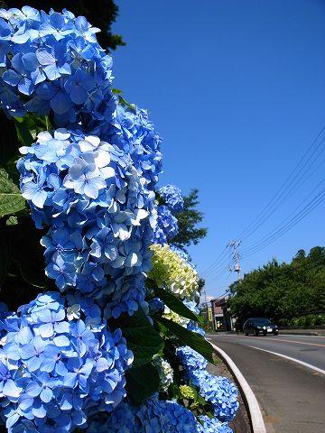 2012-07-04 尾崎神社アジサイ 015