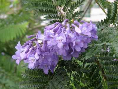 ジャカランダ花