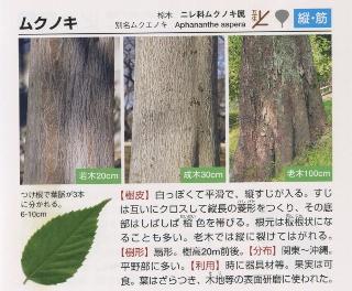 ムクノキ樹皮