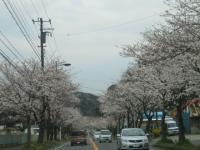 2013 桜並木
