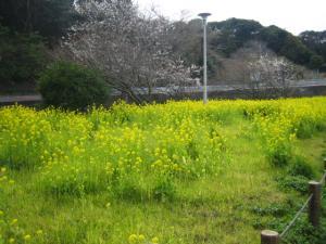 城ヶ島 駐車場 菜の花