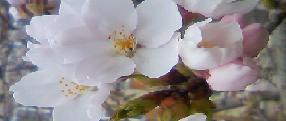 20120410桜