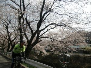 山北の桜並木