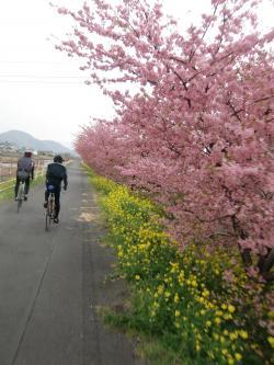 河津桜満開*