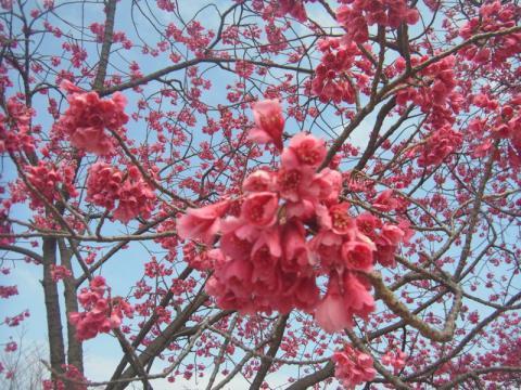 気がつけば桜が咲いていた