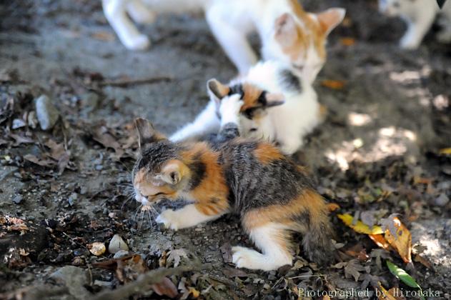 仔猫の兄弟喧嘩