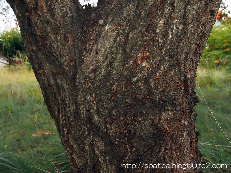 コシアカスカシバの蛹殻