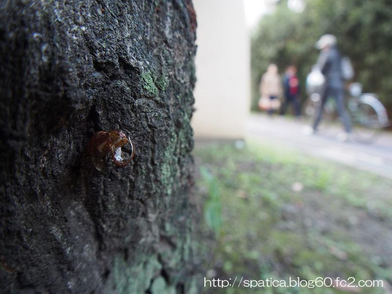 コシアカスカシバ蛹殻