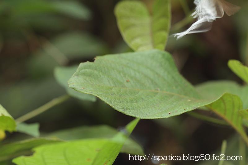 Cheritra freja