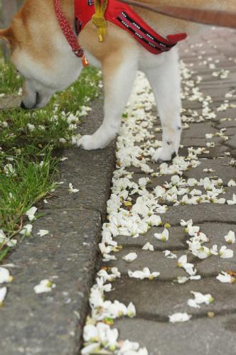 白の花びら