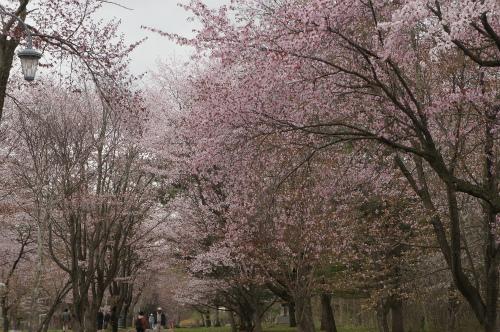 緑ヶ丘公園・桜
